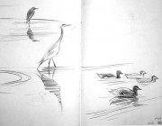 Herons and mallards. Lune estuary. Pencil. 2013