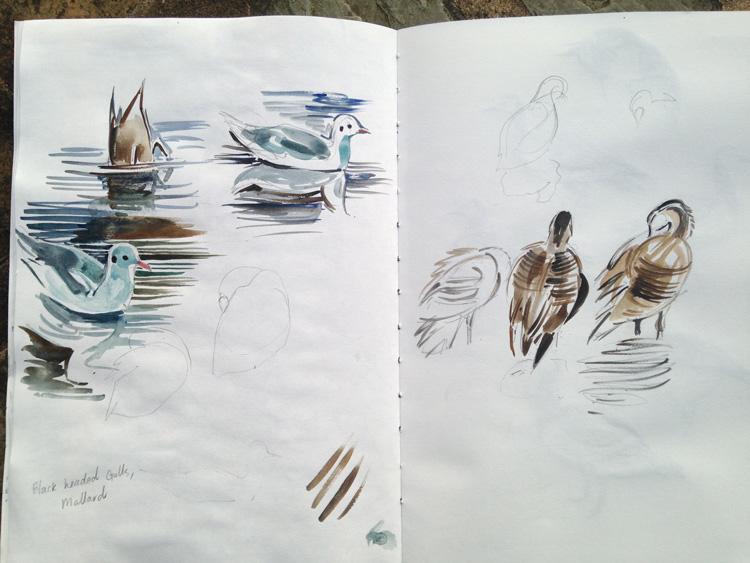 Gulls, duck and Hawaiin geese, Martin Mere